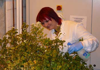PhD student Joanna Heaton examines watercress grown in the laboratory